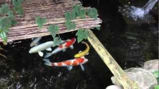 鯉&鮒の池を自分で作りました。