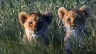 Hunting lessons - Pride - BBC animals