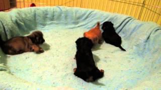 Yorkie X Maltese X Poodle Rumble Pit