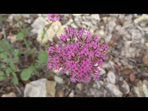 Alfeñique: Centranthus macrosiphon (www.riomoros.com)