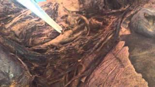 Аорта, дуга аорты, наружная сонная артерия и её ветви.