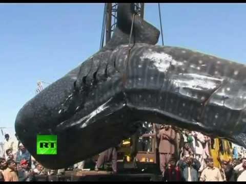 Largest Whale Shark Ever Recorded | www.pixshark.com ...
