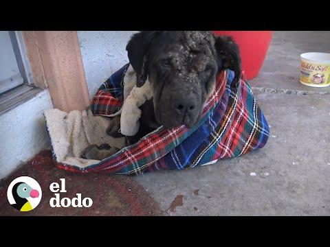 Este Rottweiler callejero queda irreconocible después de increíble transformación | El Dodo