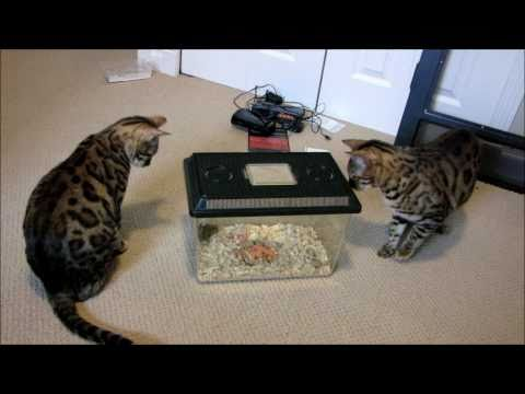Bengal Cats Rocket & Rumble Playing With Pet Mice Linus Cat Tips