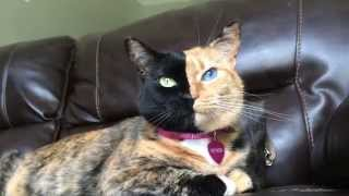 Venus two face cat - Up close & purring.