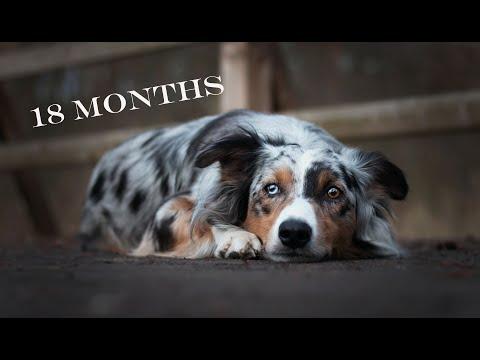 BACI Australian Shepherd I 18 MONTHS I
