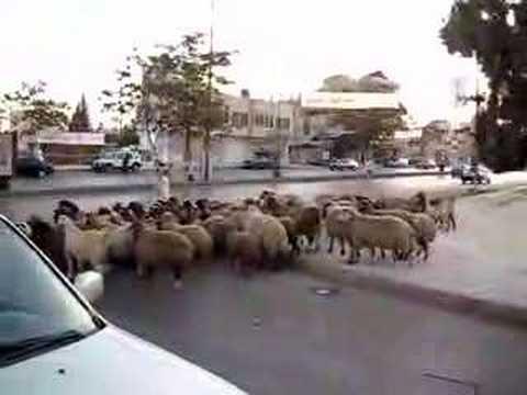 Shepherd leading flock across busy road in Amman, part 1
