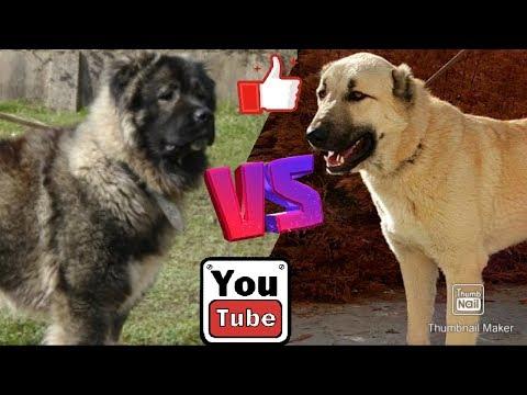 Кавказская овчарка против Кангала. Caucasian Shepherd Dog Against Kangal.