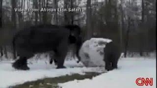 Elephants Making Huge Snowballs