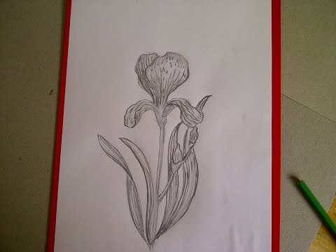 Iris Blume Zeichnen. Iris malen. Zeichnen lernen für Anfänger