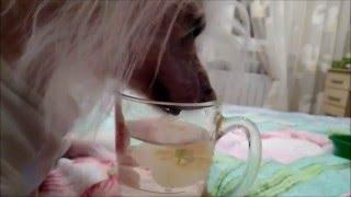 Как пьёт собака