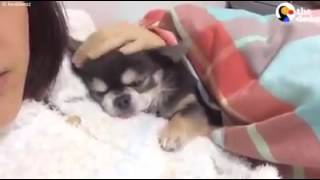 Tiny Dog Won't Sleep Unless He's Curled Up With Mom