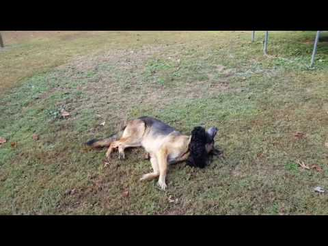 German Shepherd playing with new puppy