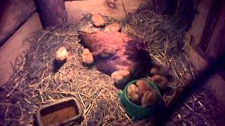Kura z kurczakami bierze udział w szopce
