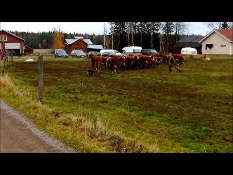 Finnish Lapphund herding cows