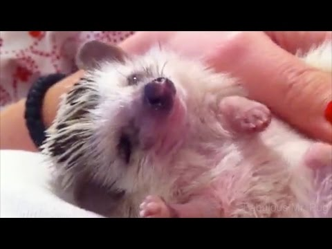 African Pygmy Hedgehog Loves to Cuddle