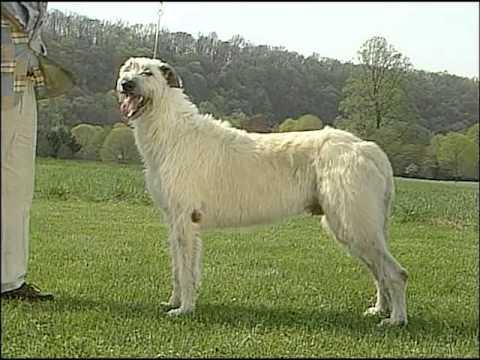 AKC Dog Breed Series - Irish Wolfhound