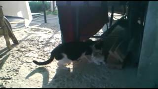 Вязка кота и кошки. Брачные игры