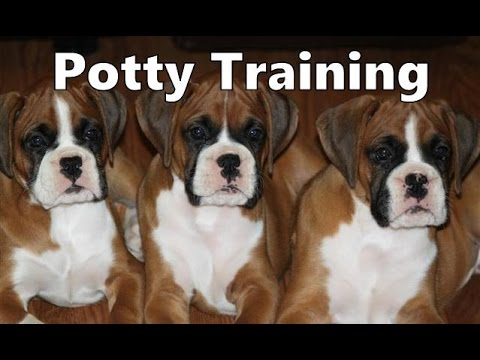 How To Potty Train A Boxer Puppy - Boxer House Training Tips - Housebreaking Boxer Puppies Fast