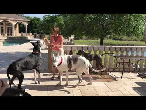 Funny Great Danes Show Off Their Party Tricks