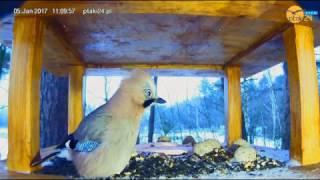 Dwie baaaaardzo głodne sójki w karmniku dla ptaków w lesie