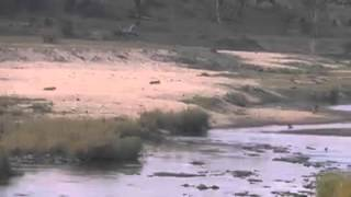 Lion Chases Waterbuck - 2 September 2015