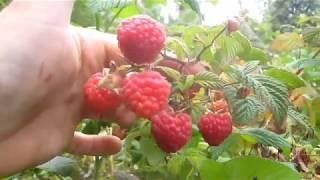Топ новых крупных и урожайных сортов летней малины. Результаты проверки урожая.