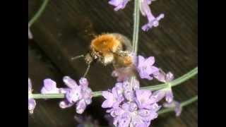 David Garrett -  Flight of the Bumble Bee
