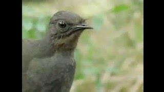 Lyrebird Bisa Meniru 20 Macam Suara