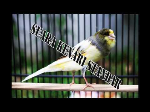 Download Suara Burung Kenari Standar