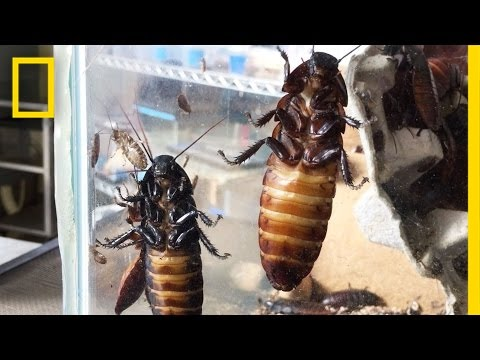 If You're Scared of Bugs, Don't Watch This | National Geographic