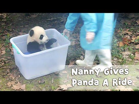Nanny Gives Panda A Fun Ride   iPanda
