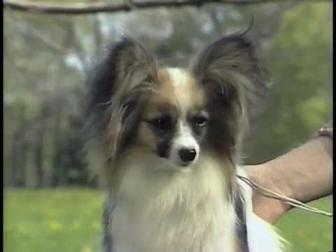 Papillon - AKC Dog Breed Series