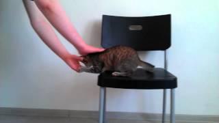"""Выполнение трюка """"Лежать"""" - дрессировка кошек"""