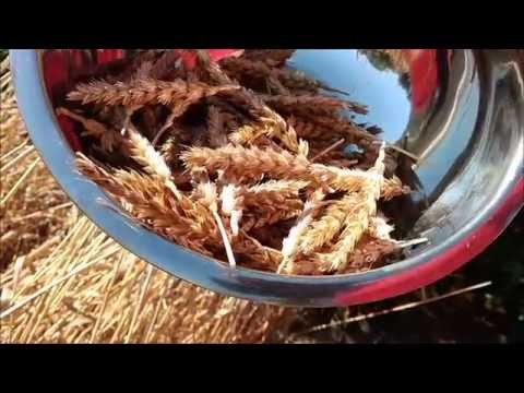 Growing and using wheat at home