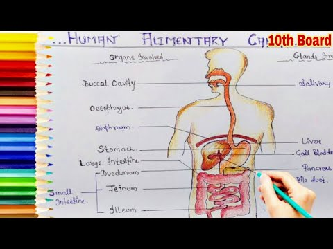 How To Draw And Label Human Digestive System Step By Step
