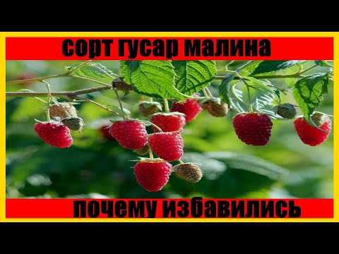 Малина  Гусар (rubus gusar) бизнес на малине || growing raspberries | традиционная | малина | обзор | гусар | rubus | gusar | гу