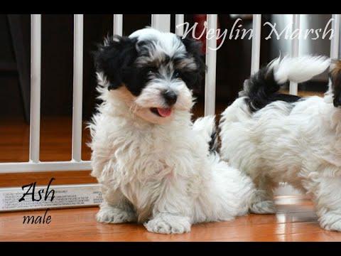 Havanese puppies Born February 23,2019