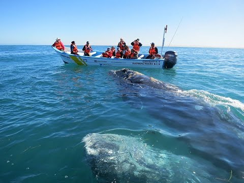 Whale Watching in Mexico - 2017