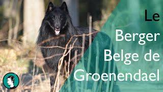 LE BERGER BELGE DE GROENENDAEL  Dogumentaire #10