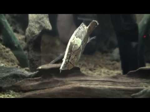 leaffish / リーフフィッシュ・リーフキャットOxward Movie Dictionary/オックスワード動画辞典