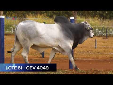 LOTE 61 - OEV4049 - NELORE