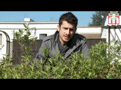 How to prune Buddleja Buzz™ video with Thompson & Morgan.