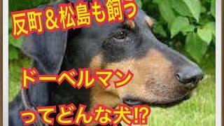 ペットで犬を飼おうと迷っている方へ〜ドーベルマン〜 世の中には様々な...