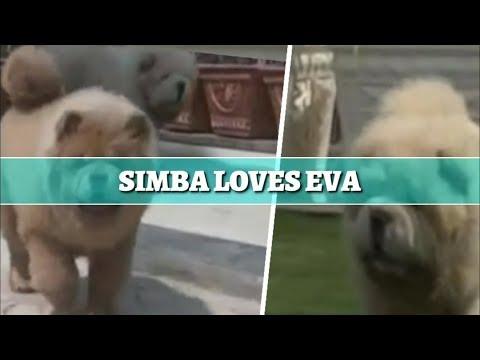 A DOG LOVE STORY||CHOW CHOW||SIMBA||EVA||PET CHEMIST