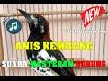 Suara Masteran Burung Anis Kembang Gacor Ngerol  Mp3 - Mp4 Download
