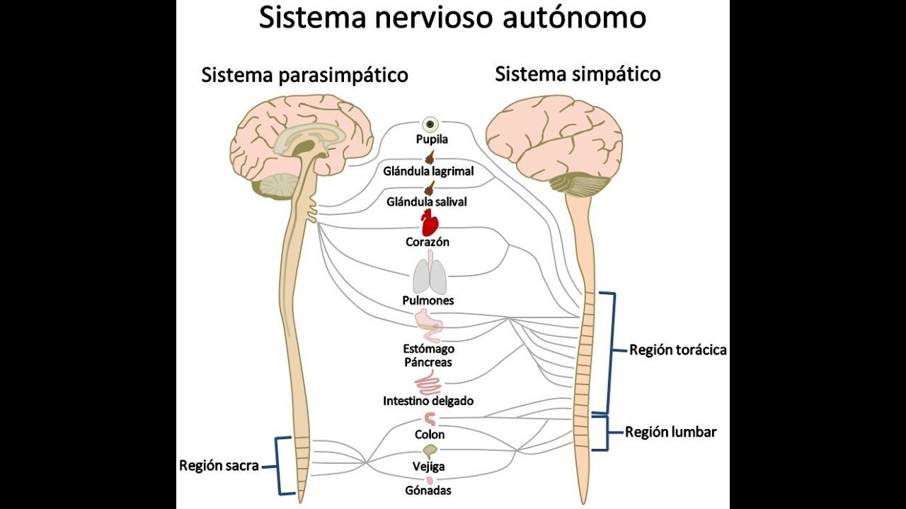 Que es el sistema nervioso su anatomia y fisiologia