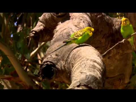 Australia: Land Of Parrots - Budgies In Nature