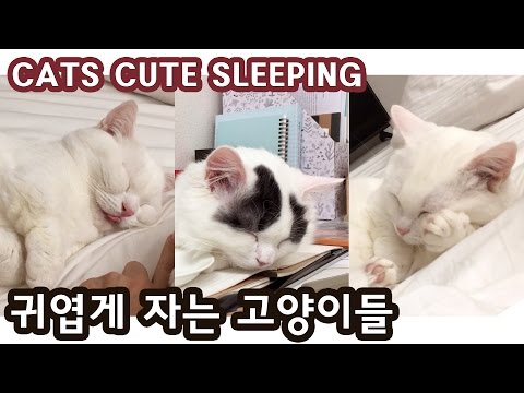 귀엽게 자는 꼬부기 쵸비 CATS CUTE SLEEPING
