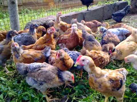 Organic Poultry for food and fertilizer shortage